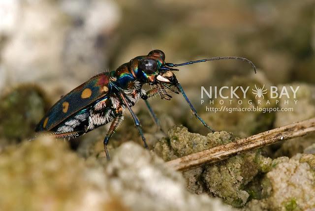 Tiger Beetle (Cicindelinae) - DSC_6967