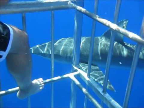 shark anatomy - YouTube  |Spiny Dogfish Shark Dissection