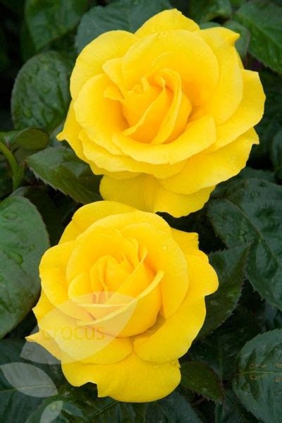 Buy rose Golden Wedding (floribunda/hybrid tea) Rosa