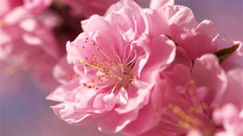 hd hintergrundbilder blumen rosa bluetenblaetter knospen