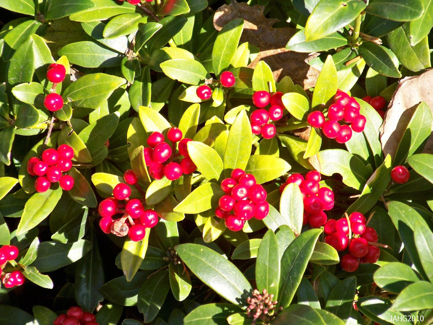 The berries of Skimia japonica are a bright shiny red and are very festive looking at this time of the year.