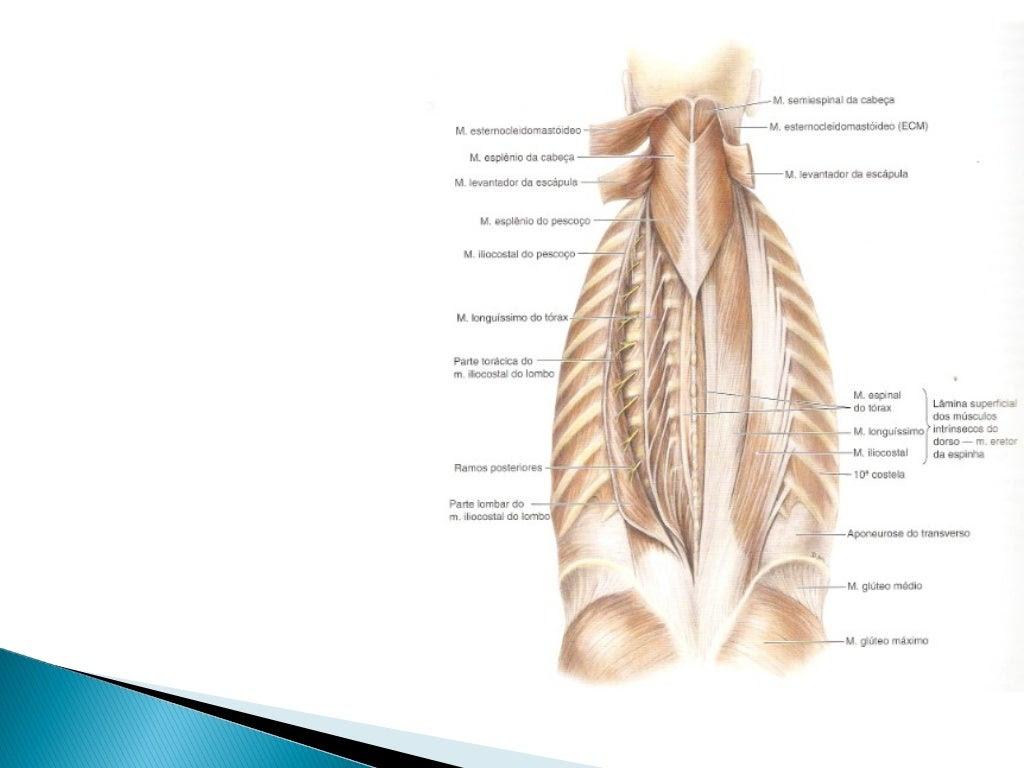 Músculos do Dorso               Músculos transversoespinhaisMúsculo          Origem               Inserção             Ine...