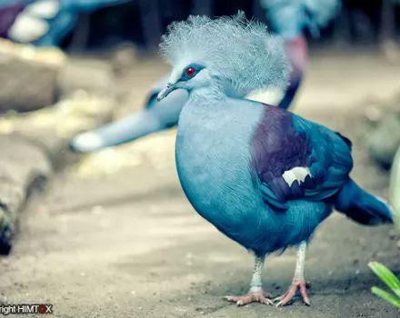 اجمل انواع الحمام - الحمامة الزرقاء المتوجة