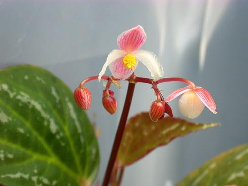 Begonia hatacoa