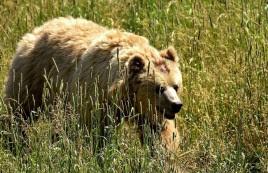 О возможной встрече с медведем предупредили жителей Новосибирска