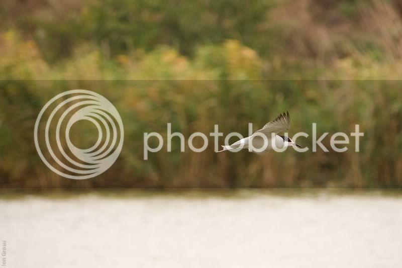 chira de balt�,pasari din moldova,Ion Grosu,lacul Sasîk