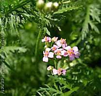 achillea fiore