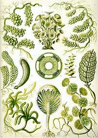 """Siphoneae"" from Ernst Haeckel's Kun..."