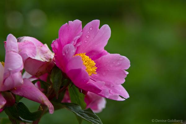 pink flowers, raindrops