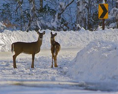 Deer III - Rock Creek Park