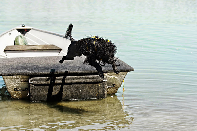 Soaring Portuguese Water Dog