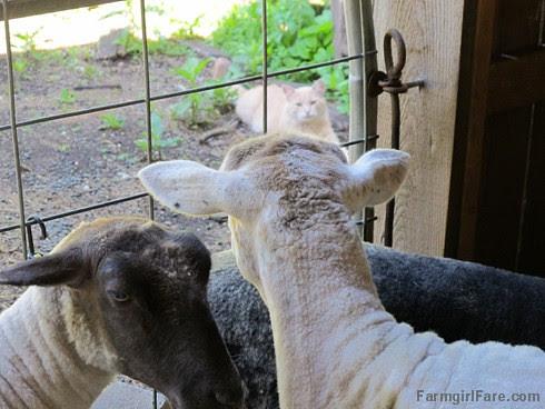 Sheep working Monday (1) - FarmgirlFare.com