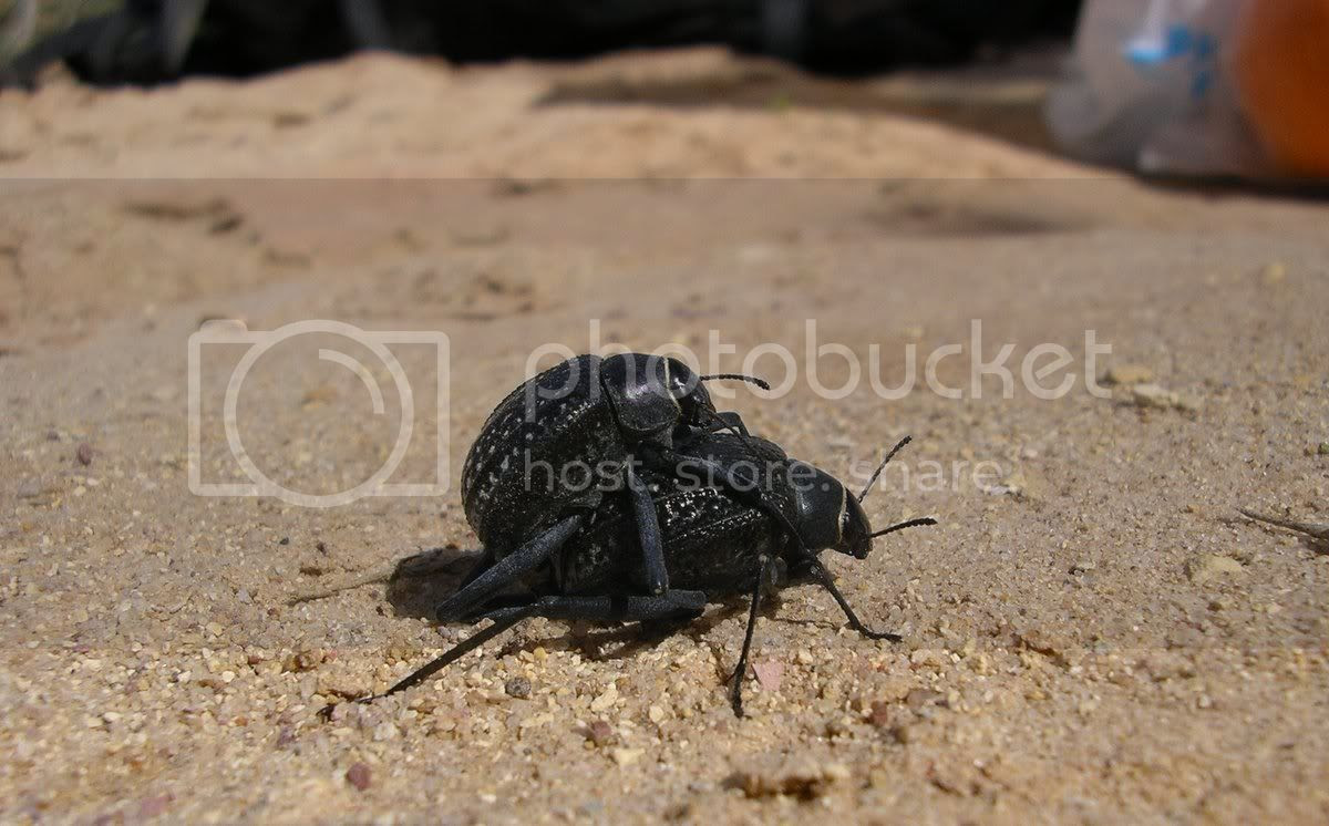 שתי חיפושיות מזדווגות במכתש הקטן
