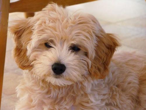 goldendoodle puppy pictures. mini goldendoodle puppies