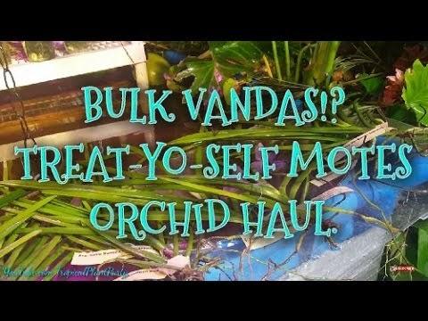 BULK ORCHID HAUL FROM MOTES! /QUARTER TERETE VANDA ORCHIDS