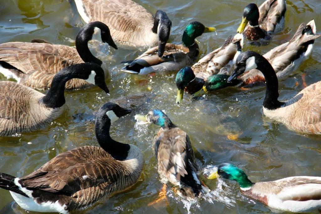 O vertedouro de Linesville: onde os patos caminham sobre peixes 09