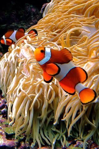 The Clownfish