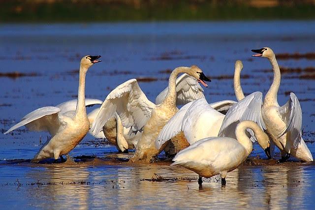 IMG_9248 Tundra Swan