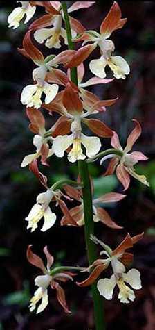 Calanthe x bicolor flowers
