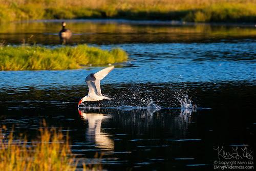Caspian Tern Hunting, Edmonds Marsh, Washington