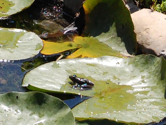 CSC_0464 Ranita en el estanque