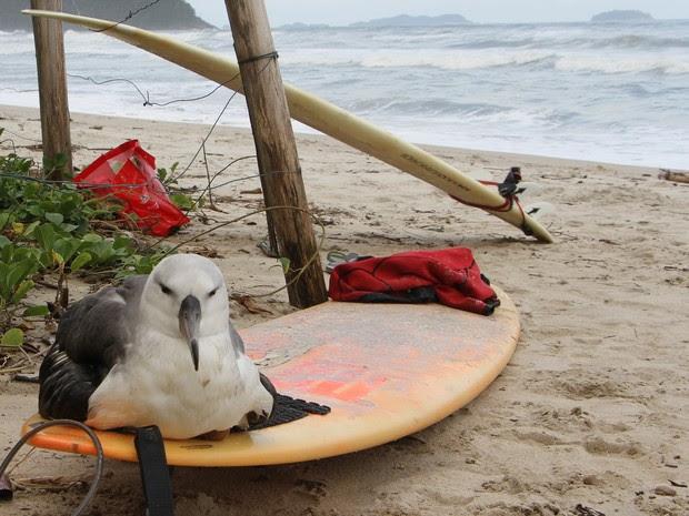 Turistas encontram albatroz na praia de Itamambuca, em Ubatuba (Foto: Divulgação/Instituto Argonauta)