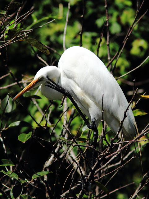 Great Egret 20130310