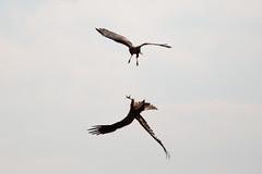 Marsh Harrier ariel combat