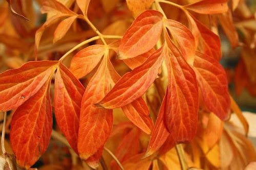 Peony Leaves