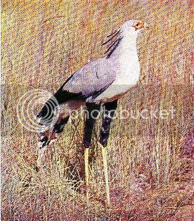 Pg5-6, SECRETARY BIRD