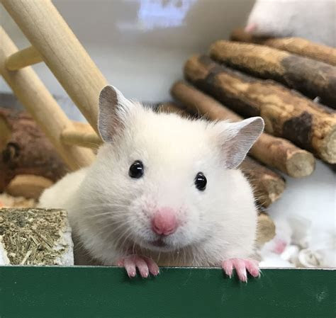 Baby white and cream syrian hamsters   Croydon, Surrey   Pets4Homes