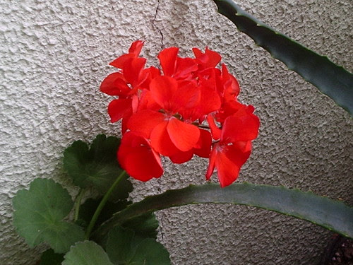Red pelargonium