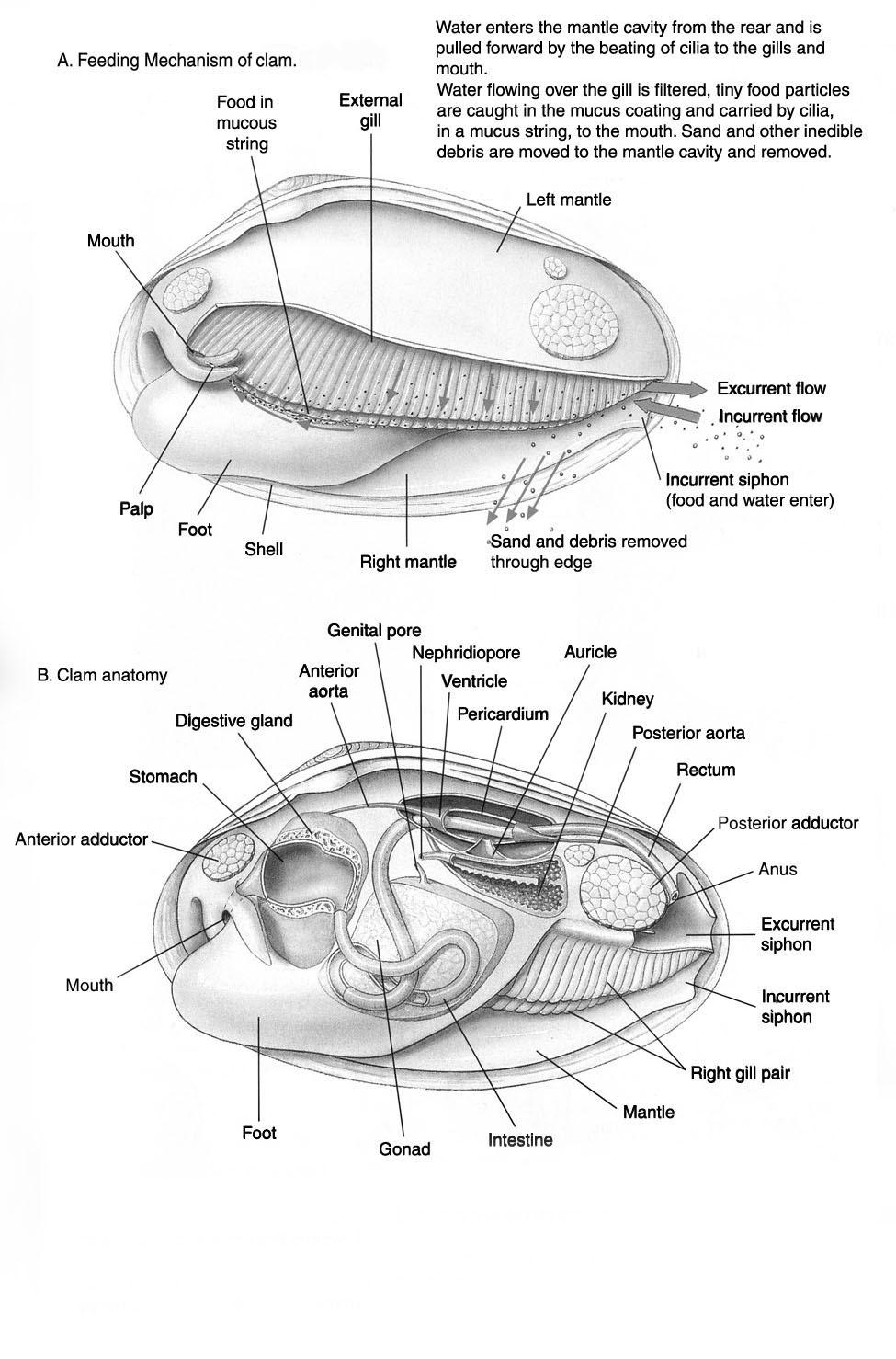 anatomy%20clam