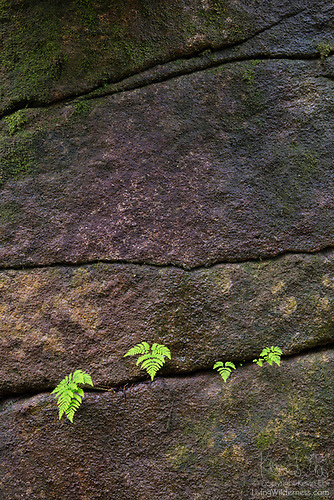 Ferns in Rock Face, Alpine Lakes Wilderness, Washington