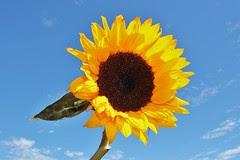 Sun Flower by aresauburn, on Flickr