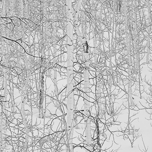 Aspen in winter and snow