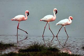 Ngorongoro Flamingi