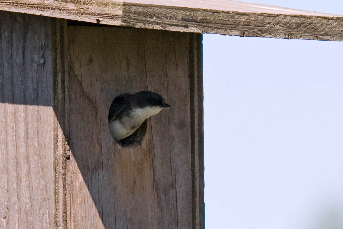 juvenile Tree Swallow