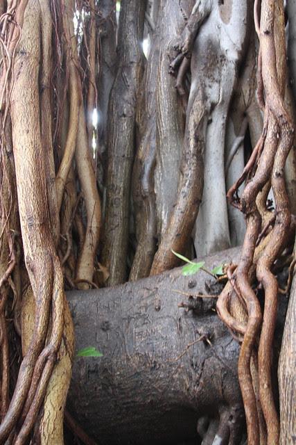 banyan, kapiolani park