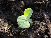 Unidentified brassica seedling