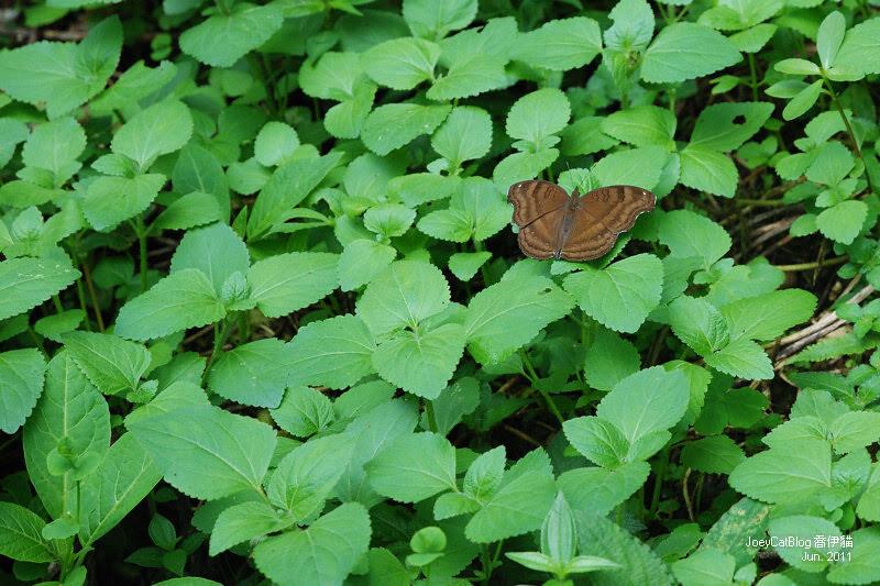 2011_0626【南投】與蝶共舞,我在日月潭蝴蝶園DSC_2065
