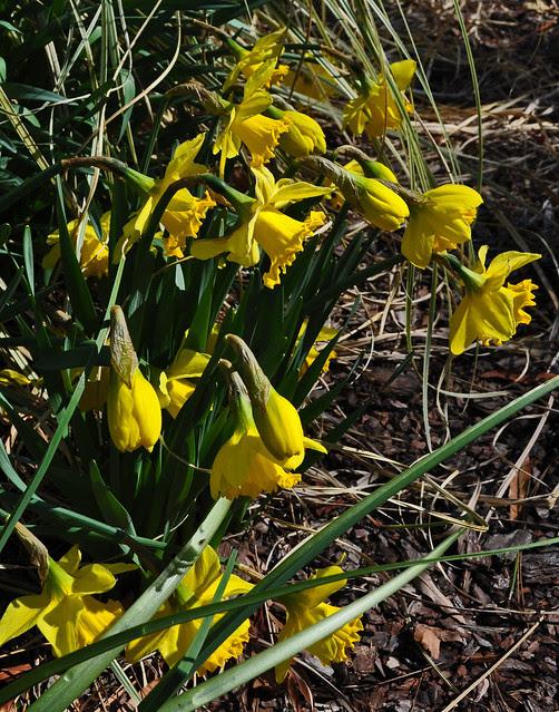 Narcissus Wednesday (9)