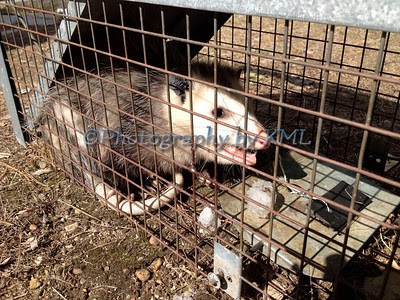 an opposum in a cage