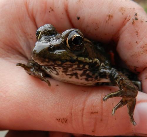 frog isabelle