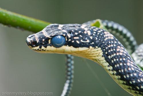 Paradise tree snake (Chrysopelea paradisi) IMG_9819 copy