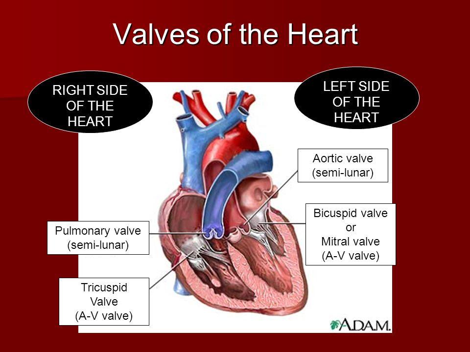 Pulmonary+valve+%28semi lunar%29