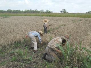 Still More Harvesting Wheat