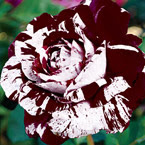 Dark Dragon Rose