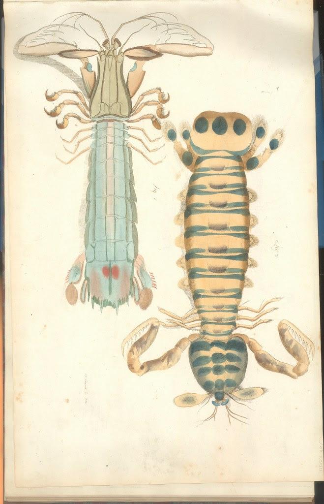 Versuch einer Naturgeschichte der Krabben und Krebse h