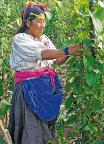 Indígena kechwa de Lamas, cosechando frejoles nativos. Foto: ARAA/Choba-Choba